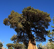 Carson Pass Juniper by RFA-Photography