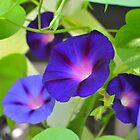 morning glories of summer by Nancy Rohrig