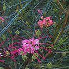 Pink Grevillea at Maranoa Gardens by Lynne Kells (earthangel)