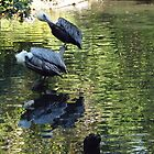 Exotic Bird and Reflection, Bronx Zoo, Bronx New York by lenspiro