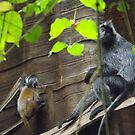 Silvered Leaf Monkey and Baby, Bronx Zoo, Bronx, New York by lenspiro