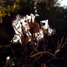 Sunkissed Milkweed by WildThingPhotos