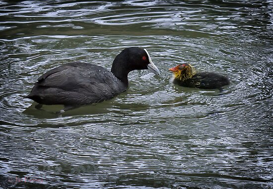 Eurasian coot and chick by Jan Pudney