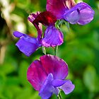 Lathyrus Odoratus - Variegated by Orla Cahill Photography