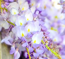 Wisteria by Alison Hill