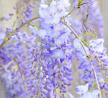 Wisteria 3 by Alison Hill