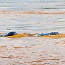Irrawaddy Dolphins by Werner Padarin