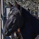 Black Stallion by Liz Worth