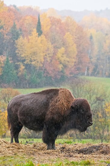 Bison by Michael Cummings