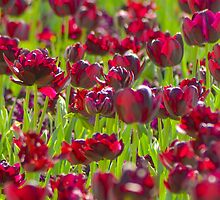Tulips in Burgundy by Alison Hill
