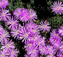 Purple Pigface by Sally Murray