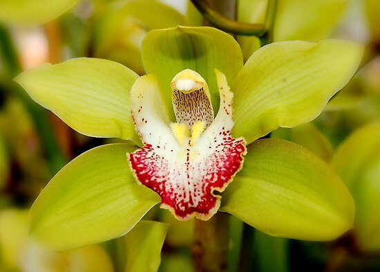Green Orchid by AnnDixon