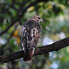 Redtail Hawk Enjoying A Beautiful October Day by Thomas Mckibben