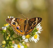 Common Buckeye 2 by Thomas Young