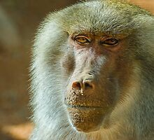 Baboon by Photopa