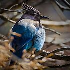 Bluebird in a Thicket by Photopa