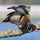 Male Wood Duck by DigitallyStill