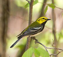Black Throated Green Warbler by DigitallyStill