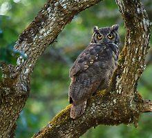 Great Horned Owl by BarryHetschko