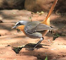 Cape Robin (Cossypha caffra) by Maree  Clarkson