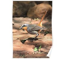 Cape Robin (Cossypha caffra) Poster