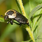 American Carrion Beetle by DigitallyStill