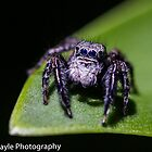 Jumping Spider by Rick Playle
