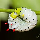 Callosamia promethea silkmoth caterpillar by DigitallyStill