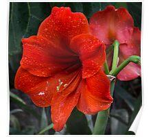 Ruby Red Amaryllis  Poster