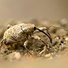 snout beetle by davvi