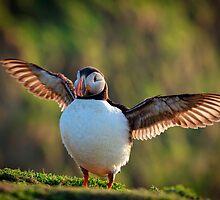 Puffin Crash Landing by TimKing