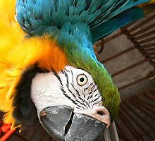 Blue and Gold Macaw by PerryPhoto