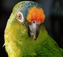 Peachfront Conure by PerryPhoto