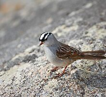 Singing White Crowned Sparrow by Reese Ferrier