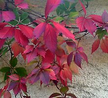 Virginia Creeper by lynn carter