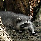 Raccoon Watching by Brian Chase