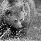Brown Bear by ChrisMillsPhoto