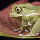 Waxy monkey frog by AngiNelson