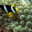 Clown fish, Oman by Miguel De Freitas