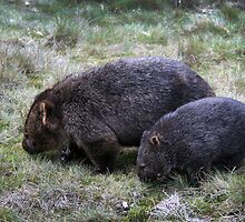Wombats by Rob Chiarolli