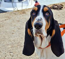 Henry The Basset by Susie Peek