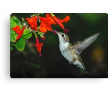 Hummingbird on Salvia Canvas Print