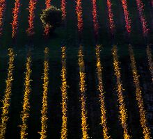 Autumn vineyard at sunset by 79billy