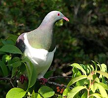 Kereru - NZ Native Wood Pigeon - Lunchtime with the cherry on top.....! by Roy  Massicks