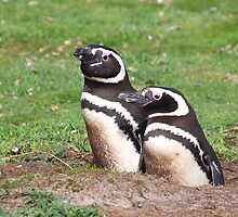 Magellanic Penguin Pair in Their Nesting Burrow by Carole-Anne