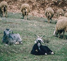 Goats among sheep on hill above S Maria Valle de Porclaneta 198404070051  by Fred Mitchell