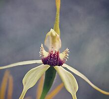 clubbed spider orchid by Paul Amyes