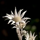 Flannel Flower - Actinotus helianthi by SusanAdey