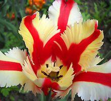 Tulip Macro # 11 by Vitta