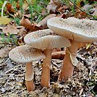 Lepiota Family by relayer51